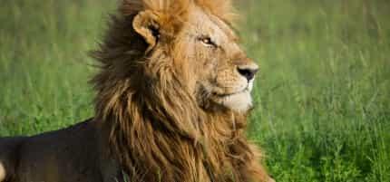 Fotosarafi in Kenia mit SIGMA – Ein Löwe beim Sonnenbaden